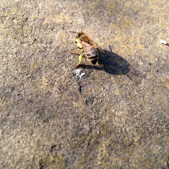 Honeybee in Feburary