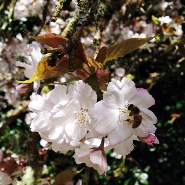 honeybee on cherry