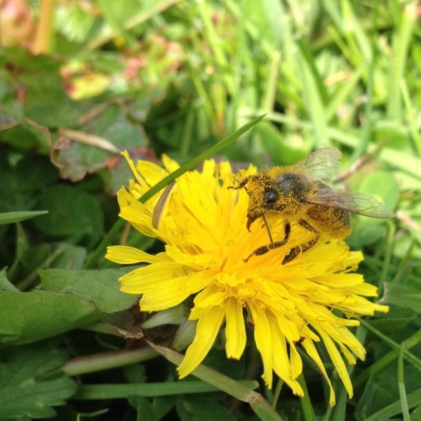 honeybee&dandelion2