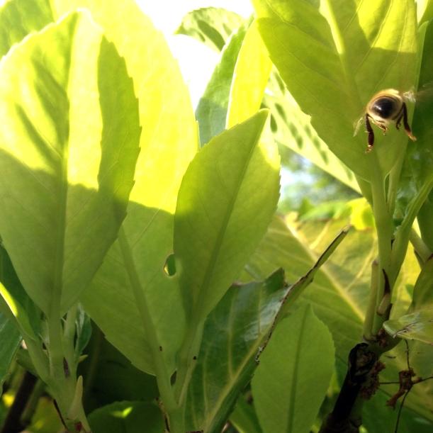 bee bum in cherry laurel