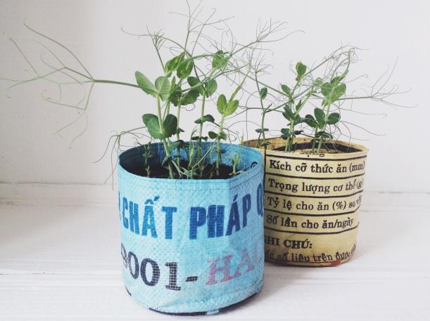 Homegrown peashoots