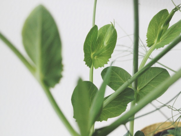 Grown your own peashoots