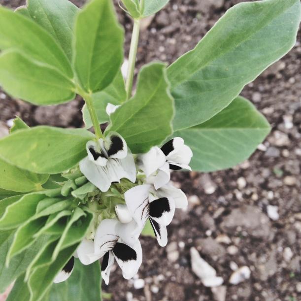 Flowering broad beans