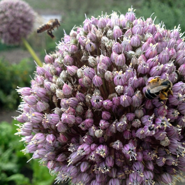 Bees on garlic