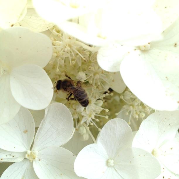 Honeybee in geranium