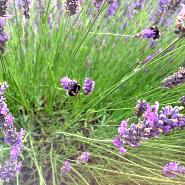 Bumbles on Lavender