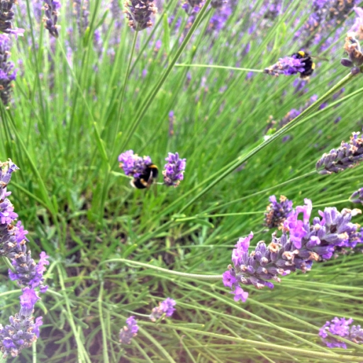 Bumbles on Lavender