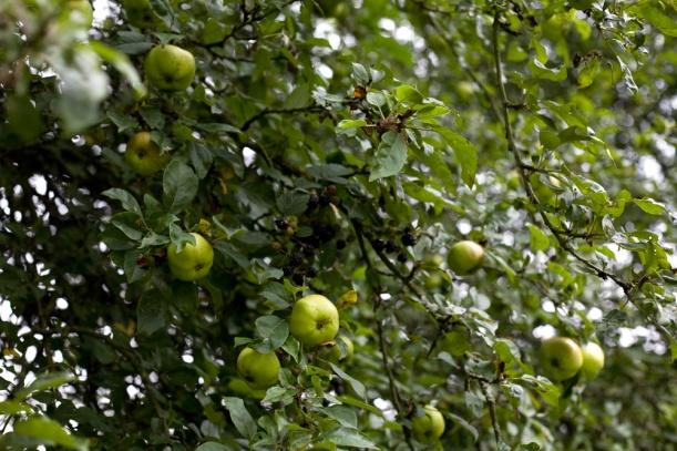 Blackberries and apples