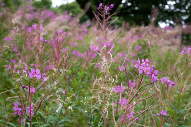 Rose-bay-willow-herb