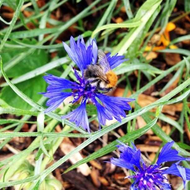 carder bumblebee on cornflower