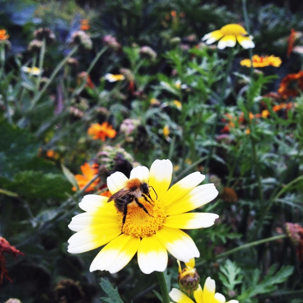 carder bumblebee on edible chrysanthemum