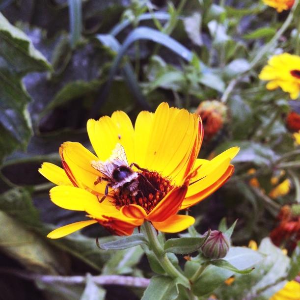 male cuckoo bumblebee on calendula