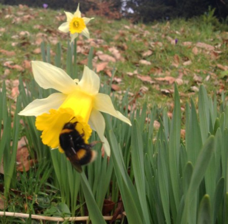 Bombus Terrestris on Daffodil