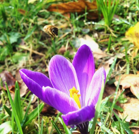 honeybee approaching crocus