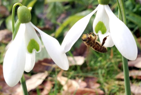 honeybee on snowdrop